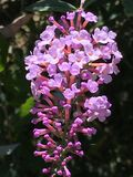 Lilac butterfly bush flower. Butterfly bush shimmering in the Summer sun with tint tubular flowers filled with nectar for bees, butterflies and hummingbirds to Royalty Free Stock Photography