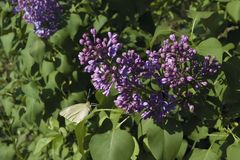Lilac with butterfly on a leaf. Butterfly sits on a leaf near a burgeoning lilac Royalty Free Stock Image