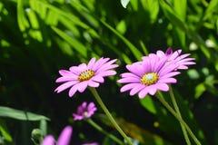 Lilac camomiles. Lilac garden camomiles Stock Photos