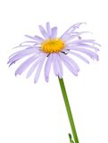 Lilac chamomile Royalty Free Stock Images