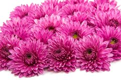 Lilac chrysanthemum flower isolated Royalty Free Stock Photo