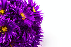 Lilac chrysanthemum Stock Images