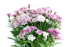 Lilac chrysanthemums Stock Images