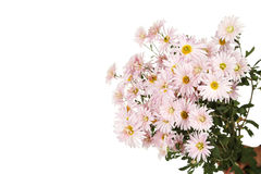 Lilac chrysanthemums, autumn flowers on a white background Stock Image