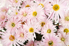 Lilac chrysanthemums background, autumn flowers. Stock Photo