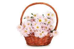 Lilac chrysanthemums in basket on white background. Stock Photography