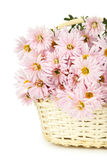 Lilac chrysanthemums in basket on a white background Stock Photography