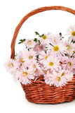 Lilac chrysanthemums in basket on the white background Stock Photography