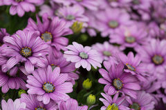 Lilac chrysanthemums Stock Image