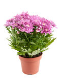 Lilac chrysanthemums in pots, isolated on a white Royalty Free Stock Photography