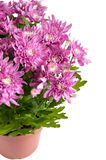 Lilac chrysanthemums in pots, isolated on a white Royalty Free Stock Photos