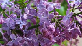Lilac in the city center royalty free stock photography