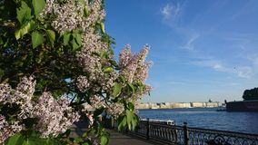 Lilac in the city royalty free stock photography