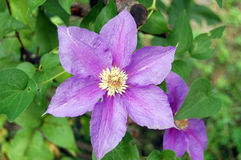 Lilac Clematis flower Royalty Free Stock Image