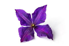 Lilac clematis on white background Royalty Free Stock Photography