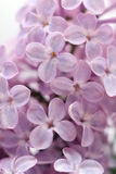 Lilac close-up Stock Foto