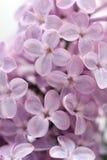 Lilac  close-up Stock Photo