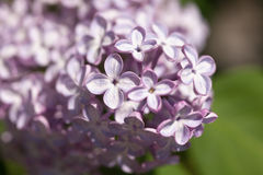 Lilac close up Royalty Free Stock Image