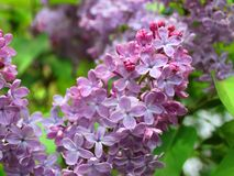 Lilac close up high contrast warm royalty free stock photo