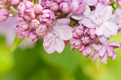Lilac close up Stock Images