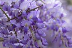 Lilac Close up Stock Photo