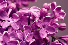 Lilac Closeup Royalty Free Stock Images