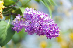Lilac Closeup Royalty Free Stock Photo