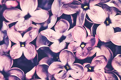 Lilac. Closeup of lilac blossoms. Syringa vulgaris - lilac or common lilac - is a species of flowering plant in the olive family Oleaceae. This species is widely stock images