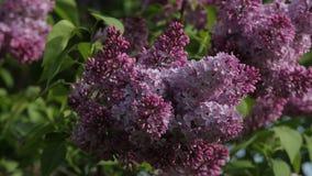 Lilac Closeup Pink Spring Blossoms Bush stock footage