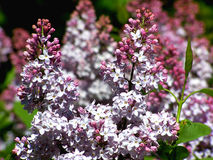Lilac Cluster. With buds stock photos
