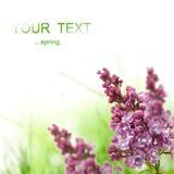 Lilac cluster stock fotografie