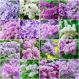Lilac collage Royalty Free Stock Images
