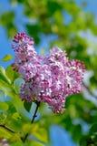Lilac, color Stock Photos