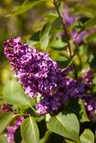 Lilac. Colorful purple lilacs blossoms with green leaves Royalty Free Stock Photo