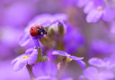 In lilac colors. Ladybug in dew drops on lilac colors Royalty Free Stock Image