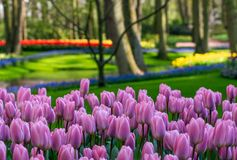 Lilac colour tulips under the trees at Keukenhof Gardens, Lisse, South Holland. Photographed in HDR high dynamic range. Vibrant colour tulips on display at stock images
