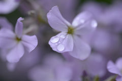 Lilac coloured flowers Royalty Free Stock Photo
