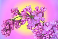 Lilac on colourful background Royalty Free Stock Image