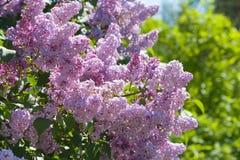 Lilac com folhas Imagem de Stock