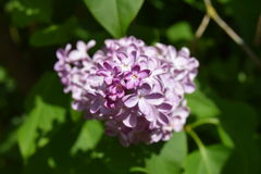 Lilac. The Lilac or common lilac is blooming with purplish colors in my summer garden Royalty Free Stock Photography