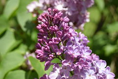 Lilac. The lilac or common lilac is now blooming with beautiful purple flowers in my summer garden Stock Photo