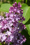Lilac. The lilac or common lilac is now blooming with beautiful purple flowers in my summer garden Royalty Free Stock Images