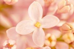 Lilac cor-de-rosa Imagens de Stock