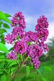 Lilac cor-de-rosa Fotos de Stock Royalty Free