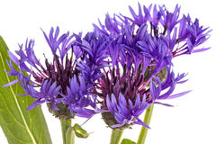 Lilac cornflower Stock Photos