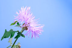 Lilac cornflowers on blue Stock Photography