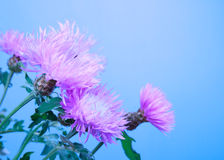 Lilac cornflowers on blue Stock Image