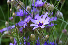 Lilac Cornflowers (Centaurea) Royalty Free Stock Images