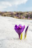 Lilac crocus against sky and snow Stock Photos