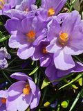 Lilac Crocus Beautiful Flowers Wonderful Spring Crocus in City Park on green grass. Spring in air quotes ,in  park ,Spring Flowers Wonderful Crocus in City Park royalty free stock photo